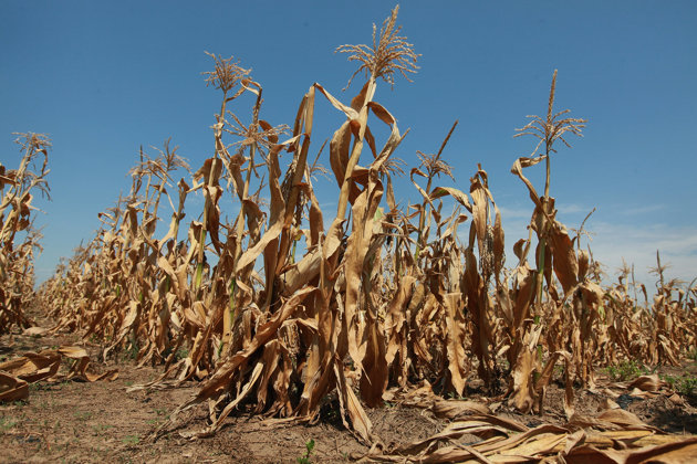corn in bad shape